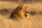 duży męski lew