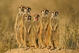 rodzina suricate