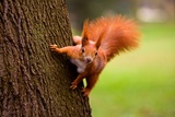 Czerwona wiewiórka w środowisku naturalnym