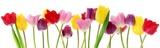Wiosna tulipan kwitnie z rzędu