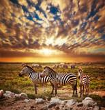 Zebry gromadzą się na Afrykańskiej sawannie przy zmierzchem. Safari w Serengeti