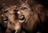 Zakończenie strzelający huczenie lew i lwica