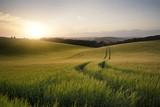 Lato krajobrazowy wizerunek pszeniczny pole przy zmierzchem z pięknym l
