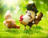 Kogut i kury. Kogut i kury z wolnego wybiegu