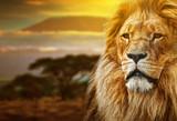 Lwa portret na sawannowym tle i górze Kilimanjaro