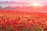 czerwone pole maku w porannej mgle