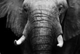 Słoń afrykański w czerni i bieli