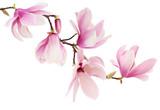 Różowa wiosna magnolii kwiatów gałąź