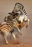Walka zebr