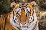 Zbliżenie portret tygrys