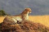 Gepard na Masai Mara w Afryce
