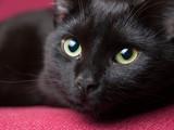 Portret czarnego kota
