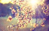 Piękna natury scena z kwitnącym drzewa i słońca racą