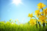 Kwiaty żonkila w polu