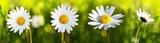 Kwiaty białe stokrotki.