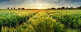 Wiejski krajobraz z pszenicznym polem na zmierzchu