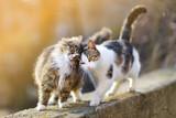 Dwa przyjazne koty