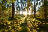 Wschód słońca w sosnowym lesie