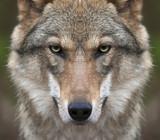 Spojrzenie prosto w duszę ciężkiej wilczej kobiety. Groźna ekspresja młodego, dwuletniego, europejskiego wilka, bardzo pięknego zwierzęcia i niesamowicie niebezpiecznej bestii.