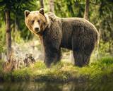 Niedźwiedź w przyrodzie, dzika przyroda, niedźwiedź brunatny w lesie, spotkanie z niedźwiedziem, wielki niedźwiedź, zwierzę w przyrodzie