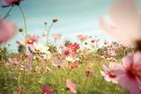 Kosmosu kwiatu okwitnięcie w ogródzie