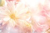 Różowy piwonia kwiat tło