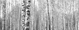 Pnie brzozy, czarno-białe tło naturalne