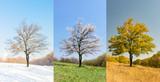 Osamotniony morelowy drzewo w różnych sezonach
