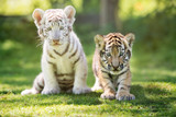 białe i czerwone młode tygrysy na zewnątrz