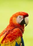 Szkarłatne ar papugi (Ara Macao), Kostaryka