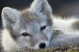 Portret arktycznego lisa (Alopex lagopus), Trygghamna, Svalbard, Norwegia, lipiec 2008. WYSTAWA BOOK & WWE OUTDOOR. Książki dzieci dzikiego cudu.