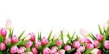Różowa tulipanowa kwiat granica