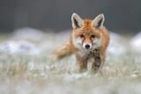 Czerwony Lis w zimie lis