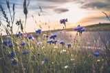 Blooming wild poppies, cornflower and chamomile on the meadow at summertime