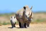 Biała nosorożca w siedlisku przyrody, Kenii, w Afryce
