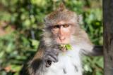 Makak rezus, małpa, przy drodze Maine na wyspie Thailands Koh Chang, spacerując po ulicy i na drutach, kablach, liniach.