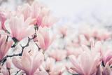 Kwiaty magnolii w świetle poranka. Pastele w kolorach