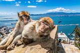 Barbary Makaki Gibraltaru