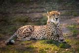 Piękny gepard kłama puszek na zielonych polach