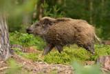 Dzik (Sus scrofa), znany również jako dzika świnia lub dzikie świnie euroazjatyckie, pochodzi z dużej części Eurazji, Afryki Północnej i Wielkich Wysp Sundajskich. Męski. Ryk