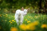 Koza na pastwisku