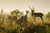 Impalas (Aepyceros melampuss), grupa z samcem i kobietą uważną w podświetlenie, poranne światło, Peter's Pan, Savuti, Park Narodowy Chobe, Chobe District, Botswana, Afryka