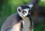 Portret Ring Tailed Lemur