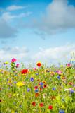 Wild Flower Meadow w Walii