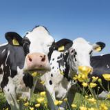 czarno-białe krowy zbliżają się do żółtych wiosennych kwiatów w holenderskim zielonym trawiastym meadowunder błękitne niebo w słoneczny dzień w holandii