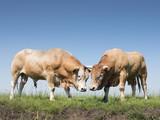 dwa blondynka d'aritaine byków w holenderskiej zielonej trawiastej łące w holandii