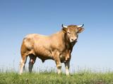 Blondynka d'aritaine byka w zielonej trawiastej łące z niebieskim niebem jako tło