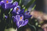 Zakończenie purpurowy kwiatu dorośnięcie przy ogródem