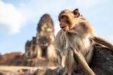 Życie małp z stanowiskami archeologicznymi. Lopburi Tajlandia