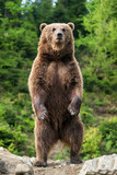 Duży brown niedźwiedź stoi na jego tylnych nogach